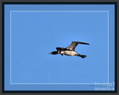 Loon Digital Art - Common Loon Flying Overhead, Framed by Sandra Huston