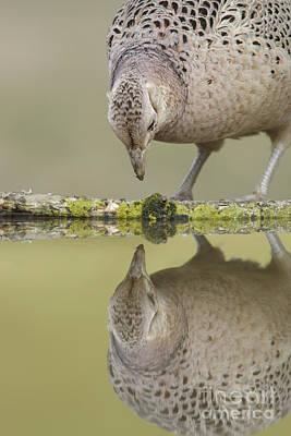 Pheasant Photograph - Common Pheasant Hen by Paul Miguel/FLPA