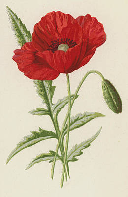 Poppies Drawing - Common Poppy by Frederick Edward Hulme