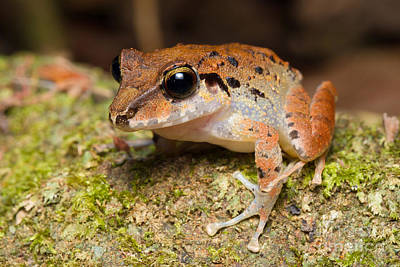 Frogs Photograph - Common Rain Frog by B.G. Thomson