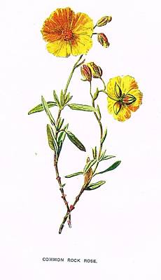Rose Painting - Common Rock Rose by MotionAge Designs