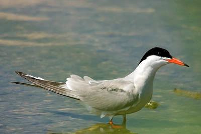 Common Tern Portrait Print by Cliff  Norton