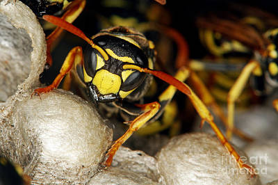 Common Wasp Vespula Vulgaris Print by Gerard Lacz