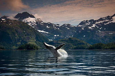 Composite Breaching Humpback Whale Print by Daryl Pederson