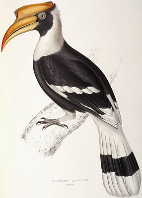 Yellow Beak Drawing - Concave Hornbill by John Gould