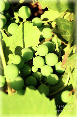 Photograph - Concord Grapes 4 by Janie Johnson