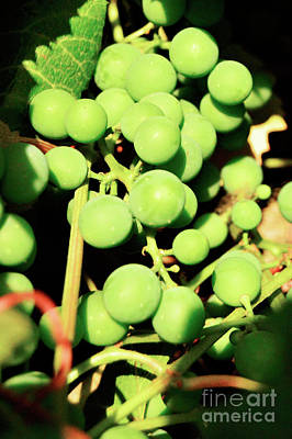 Photograph - Concord Grapes 6 by Janie Johnson