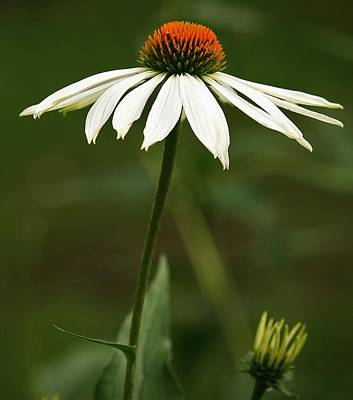 Photograph - Cone Flower Delight by Al Fritz