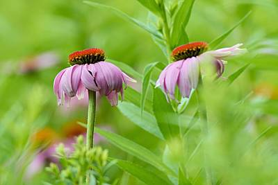 Flower Photograph - Cone Flowers In Hiding by Larry Ricker