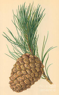 Pines Drawing - Cone Of Stone Pine by William Henry James Boot