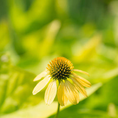 Coneflowers Photograph - Cone Squared by Rebecca Cozart