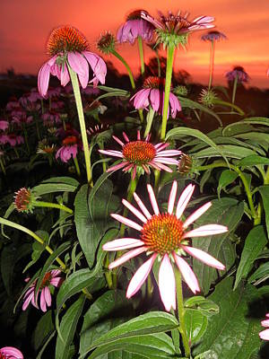 Coneflowers I Print by Cindy Treger