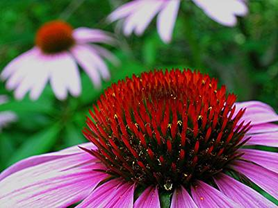 Abstracted Coneflowers Photograph - Coneflowers by Juergen Roth