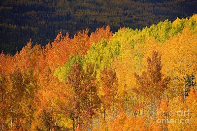 Contrasting Aspens Print by Ron Dahlquist - Printscapes