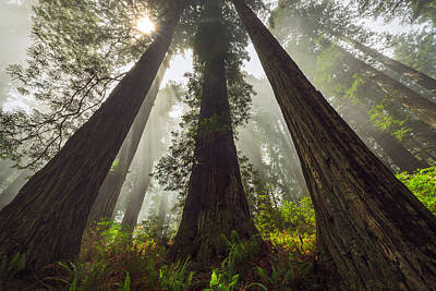 California Redwood Photograph - Convergence by Thorsten Scheuermann
