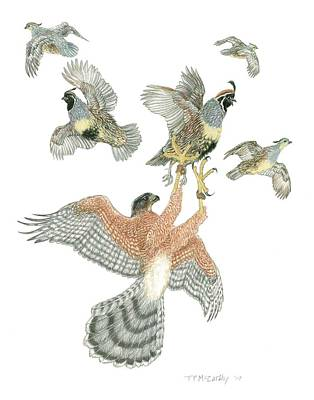 Cooper's Hawk And Gambels Quail Print by Tim McCarthy