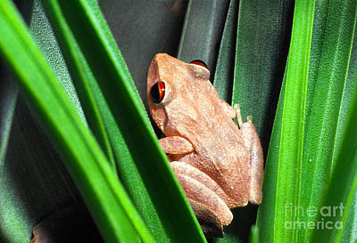 Tree Frog Photograph - Coqui In Bromeliad by Thomas R Fletcher