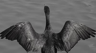 Cormorant 3 Print by Todd Sherlock