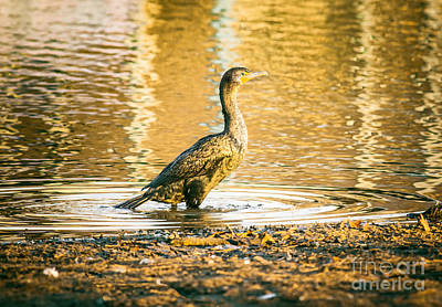 Cormorant At Morning Print by Robert Frederick