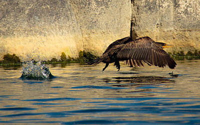 Watson Lake Photograph - Cormorant In Motion by Amy Sorvillo