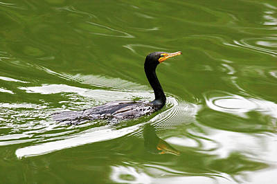 Cormorant Print by Randall Ingalls