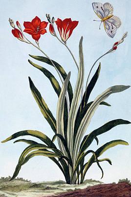 Lilies Drawing - Corn Lilies by Pierre-Joseph Buchoz