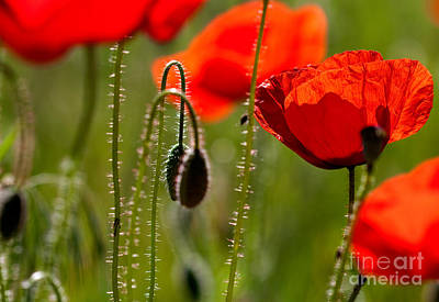 Corn Poppy Flowers Print by Nailia Schwarz