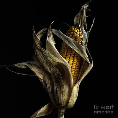 Healthy Eating Photograph - Corncob In Studio. by Bernard Jaubert