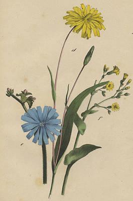 Cornflowers Print by German Botanical Artist