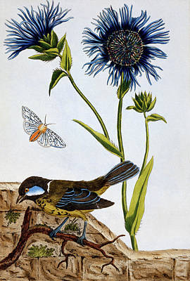 Moth Drawing - Cornflowers by Pierre-Joseph Buchoz