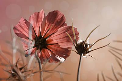 Cosmea Flower Original by Ralph Klein