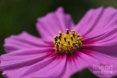Photograph - Cosmos Flower by Joy Watson