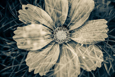 Blooming Digital Art - Cosmos Flower by Toppart Sweden