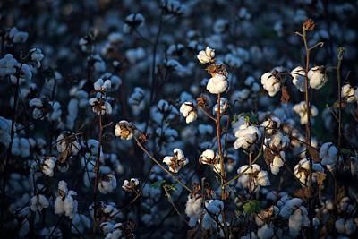 Cotton Field At Harvest Time Print by Matt Plyler