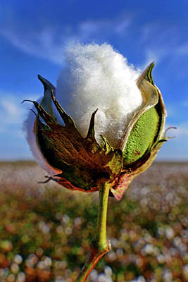 Photograph - Cotton Pickin' by Skip Hunt