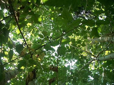 Cotton Wood And Black Berry Vine Canopy  Print by William Mann
