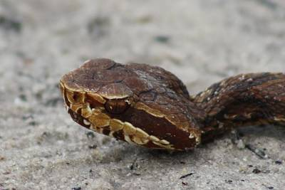 Cottonmouth Print by Dana  Oliver