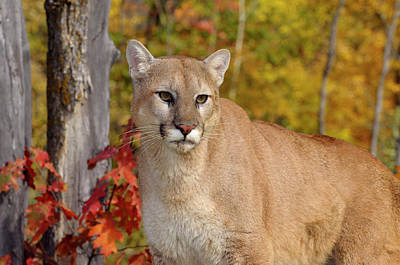 Cat Photograph - Cougar In A Forest With Colorful Fall Foliage On Trees by Reimar Gaertner