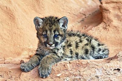 Cougar Kitten Resting Print by Melody Watson