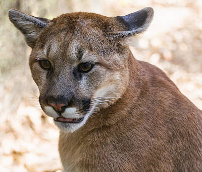 Cougar Portrait Print by Chris Flees