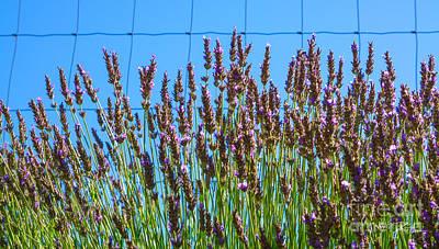 Rural Scenes Mixed Media - Country Lavender IIi by Shari Warren