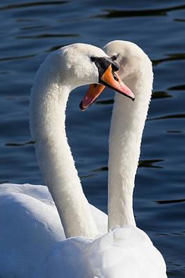 Courting Swans Print by David Pyatt