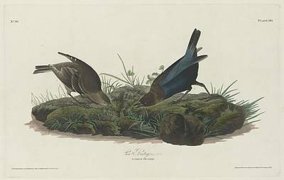 Cow Bunting Print by John James Audubon