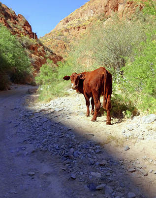 Cow In The Canyon Print by Susan Lafleur