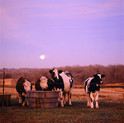 Cows At Sunset Delano Minnesota Print by Panoramic Images