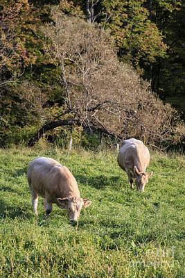 Cows Grazing In A Field Etna Nh Print by Edward Fielding