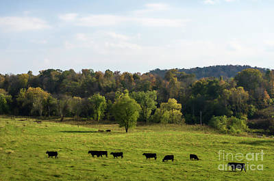 Cows Lined Up In Field Heading Toward Pond Kingston Springs Tn Farm Print by Photo Captures by Jeffery