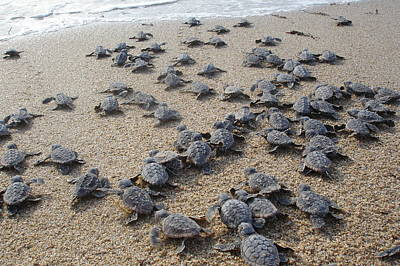 Baby Turtle Photograph - Crawl To The Ocean by Mary Wozny