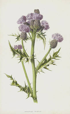 Scottish Drawing - Creeping Thistle by Frederick Edward Hulme