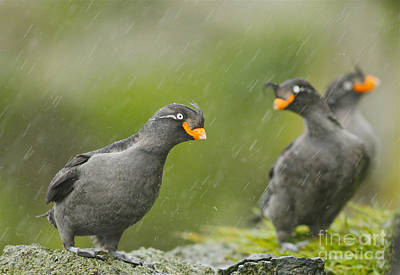 Auklets Photograph - Crested Auklets by Desmond Dugan/FLPA